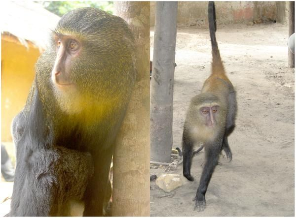 New African monkey species identified: Lesula found in one of Congo's last biologically unexplored forest blocks