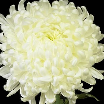 Football Mum-white - these are massive! Love all of the petals!