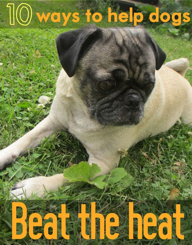 10 Ways To Help Your Dogs Beat The Heat. Great ideas for pugs and other dogs that easily overheat in the summer. #dogs