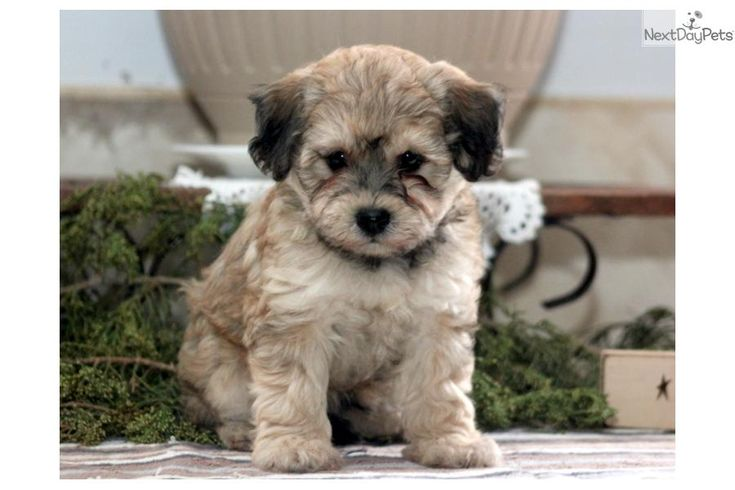 You'll love this Male Havapoo puppy looking for a new home.