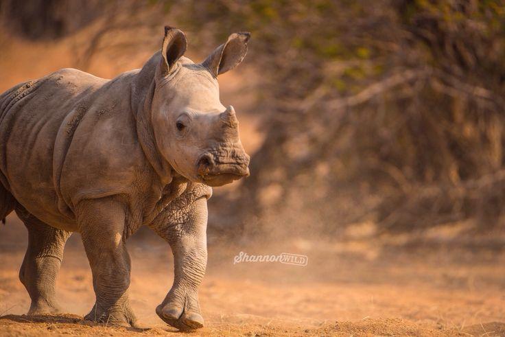 A symbol of hope!  With the current poaching crisis this wild baby White Rhino signifies the defiance of a species that refuses to give up.  #unitethefight #rhino #saveaniamals #rhinosaverz #stoppoaching #StopkillingRhinos #StopKillingOurRhino #OurHornIsNotMedicine #animal #wild #wildlife #wildlifephotography #Conservation #rhino
