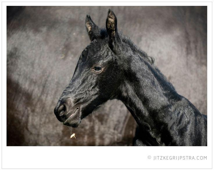 Een fries paarden veulentje in de voorjaarszon