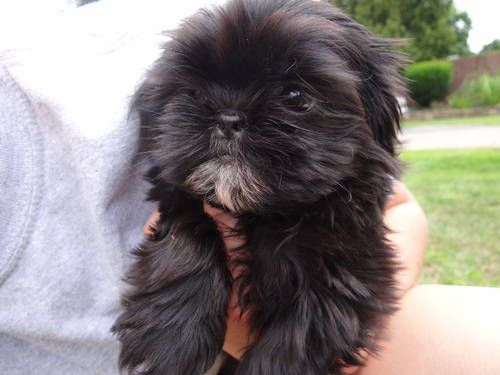Shih-Tzu/Maltese mix pups ***Will look like Shih-Tzu***