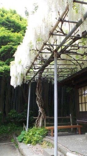 Glycine blanche dans le jardin du temple Eishō-ji à Kamakura