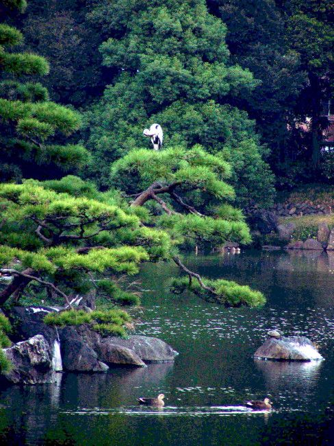 The clouds pruning is NOT authentic Japanese pruning ! | Niwaki et Niwashi