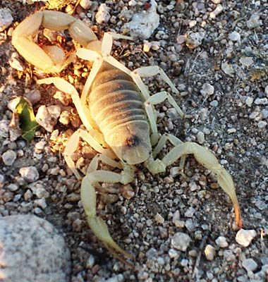 Desert scorpion in sunlight.