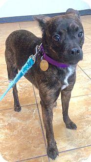 Oak Ridge, NJ - SECOND CHANCE PET ADOPTION LEAGUE - French Bulldog/Schipperke Mix. Meet HOPE- LOVES DOGS, a dog for adoption. http://www.adoptapet.com/pet/16646633-oak-ridge-new-jersey-french-bulldog-mix