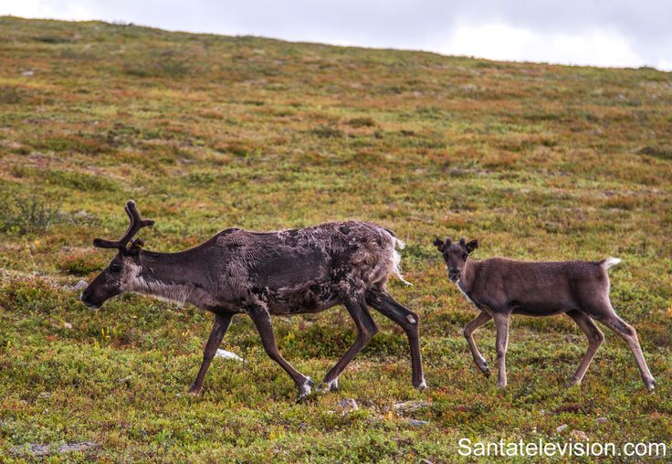 Lapland – land of reindeer in Northern Finland