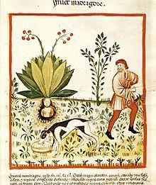 """Männliche und weibliche Alraune. Die Gemeine Alraune aus der Gattung Mandragora ist eine giftige Heil- und Ritualpflanze, die seit der Antike als Zaubermittel gilt, vor allem wegen ihrer besonderen Wurzelform, die der menschlichen Gestalt ähneln kann. Benannt wurde sie nach Grimm von einer altgermanischen Seherin Albruna, der Ausdruck leitet sich von ahd.alb'Alb, Mahr, Faun' und ahd.rûnen' leise sprechen, heimlich flüstern', got. runa (""""Geheimnis"""") oder nord. run (""""Geheimnis, Rune"""") ab."""
