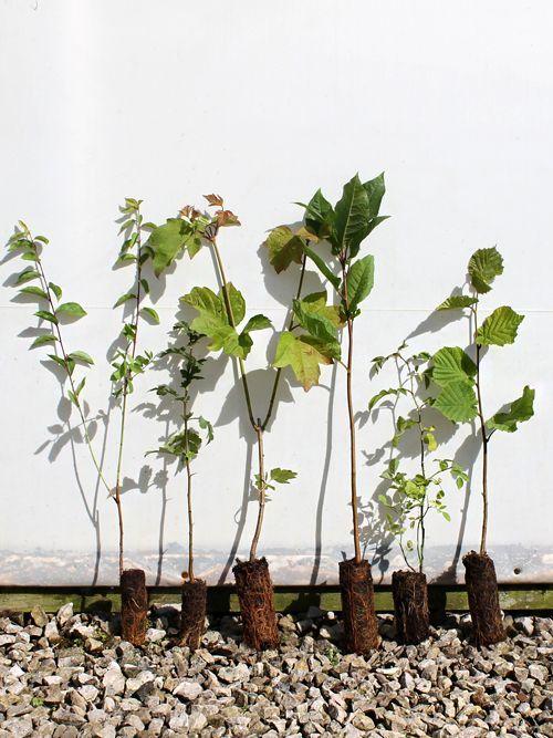 Economy Mixed Native Hedging Plant Packs - Hedges Direct UK