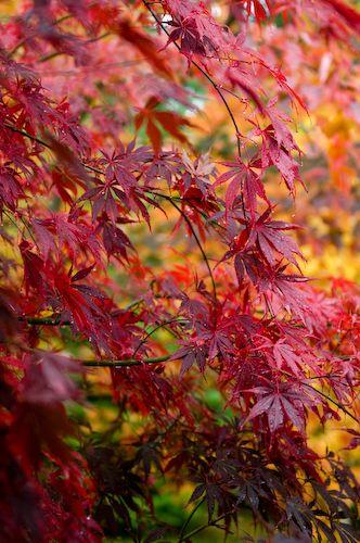 Autumn foliage of Japanese Maple (Acer palmatum). ❤❦♪♫