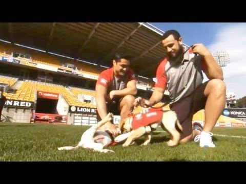 RNZFB Guide dog puppies in training with the NZ Warriors. - http://www.7tv.net/rnzfb-guide-dog-puppies-in-training-with-the-nz-warriors/