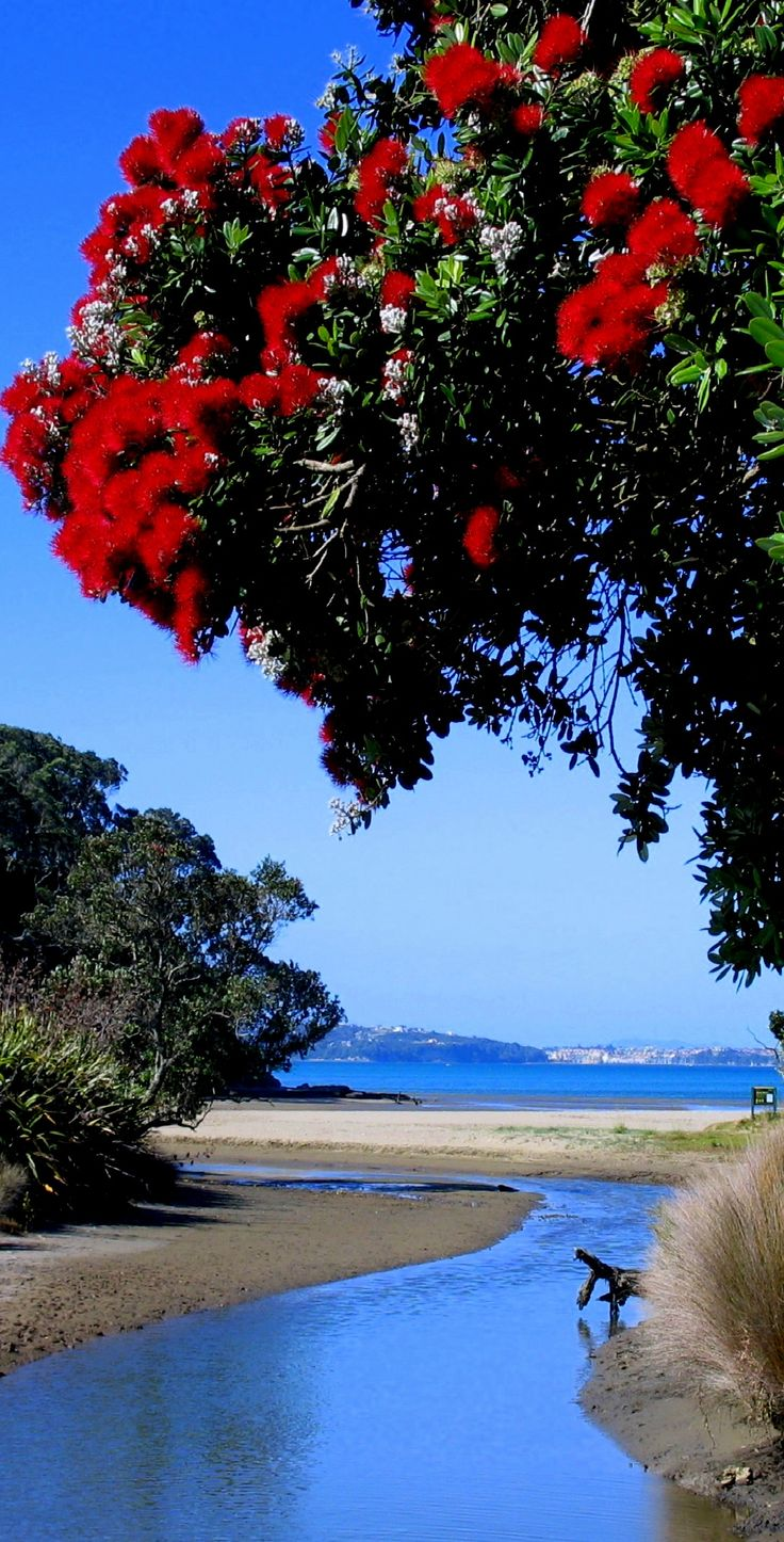Pohutukawa at Long Bay beach, Auckland, The North Island, New Zealand