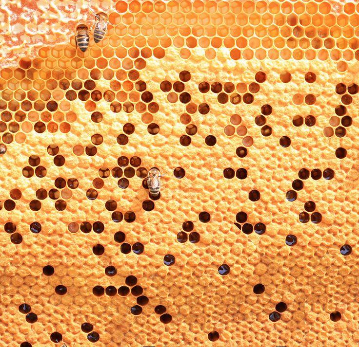 Las abejas dedican toda su vida a construir el nido con la famosa cera que segregan. Allí tienen a sus crías.