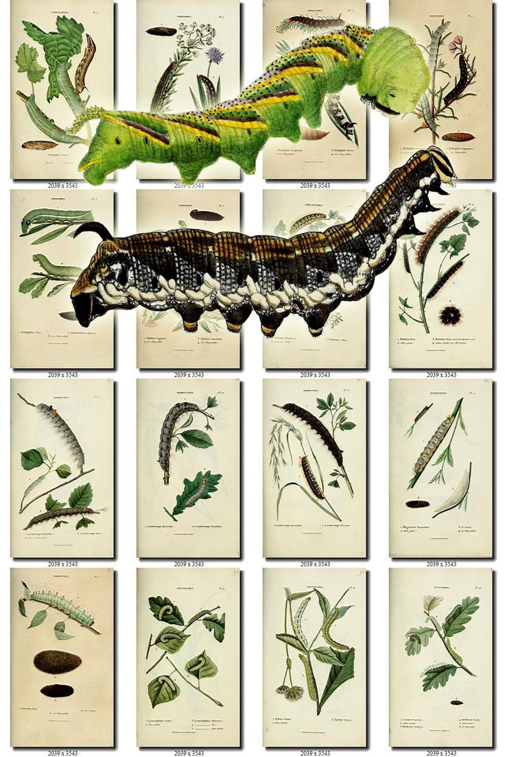 CATERPILLARS-2 Collection of 266 vintage images butterfly caterpillar green pictures animals High resolution digital download printable by ArtVintages on Etsy