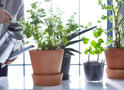 Potted plants in a window are being watered with a metal watering can