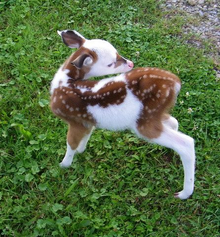 A piebald deer is a deer with a brown and white spotting pattern which is not caused by parasites or diseases. They can appear to be almost entirely white. In addition to the non-standard coloration, other differences have been observed: bowing or Roman nose, overly arched spine (scoliosis), long tails, short legs, and underbites.