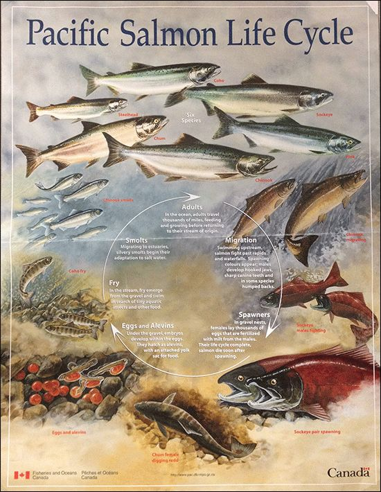 Species & Lifecycle | Pacific Salmon Foundation