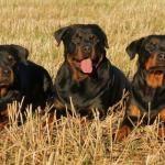 Cachorro Rottweiler: descubra como é este animal, suas características físicas, caráter, comportamento, etc. O Rottweiler é um cachorro forte, robusto e atlético. De tamanho médio a...