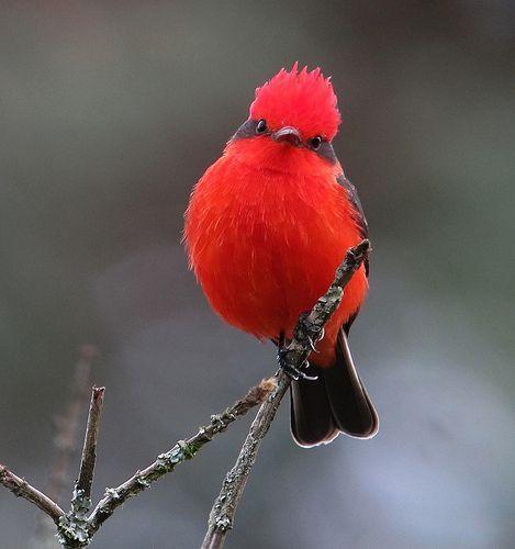 Vermilion Flycatcher by Felix Uribe