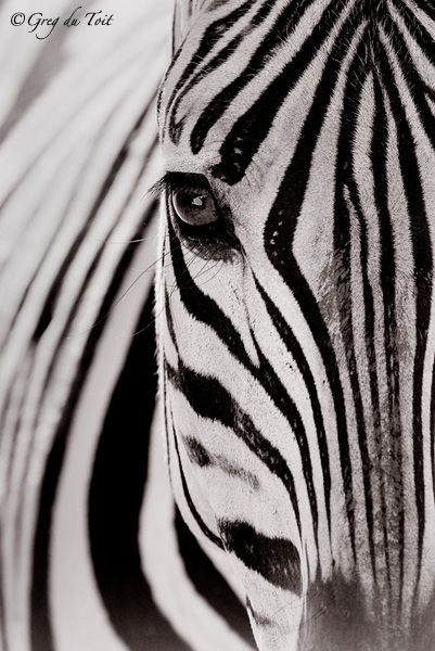 zebra national geographic