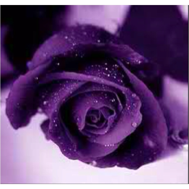 Royal Purple | It doesn't matter what this rose color symbolizes, I want this color!