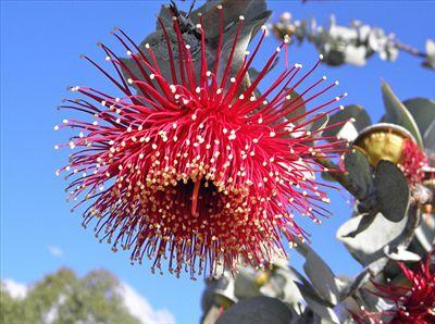 Eucalyptus rhodantha • Australian Native Plants • Plants • 800.701.6517