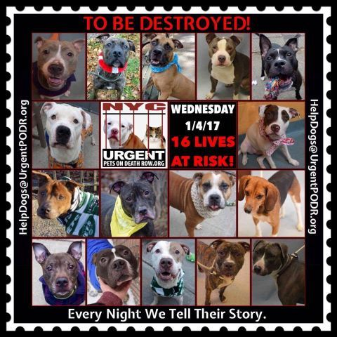 TO BE DESTROYED 01/04/17 - - Info  Please Share: To rescue a Death Row Dog, Please read this:http://information.urgentpodr.org/adoption-info-and-list-of-rescues/  To view the full album, please click here:http://nycdogs.urgentpodr.org/tbd-dogs-page/ -  Click for info & Current Status: http://nycdogs.urgentpodr.org/to-be-destroyed-4915/