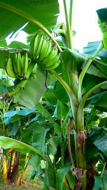 23 best Banana trees in landscapes images on Pinterest