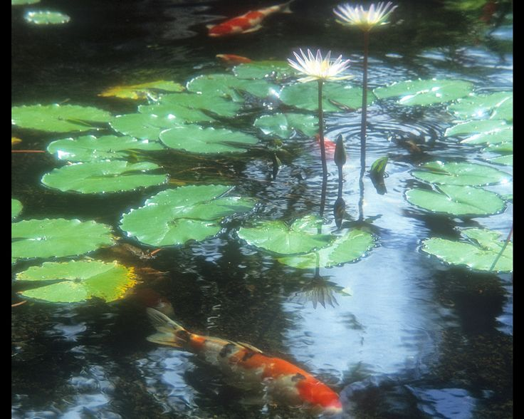 Koi fish pond screensaver water gardens aquariums fish for Koi pool water gardens blackpool