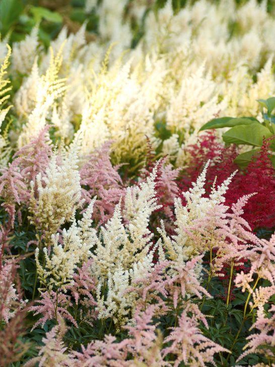 Astilbe används för sällan i våra trädgårdar. De trivs där det är fuktigt och lite skuggigt. Blommar under semestertider, har snygga bladverk som täcker marken och färgrika blommor som lyser upp tillvaron. På bilden sorterna 'Rotlicht', 'Irrlicht' och 'Bressingham Beauty'.