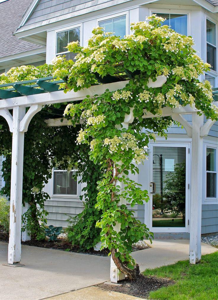 15 pines de hortensias trepadoras que no te puedes perder - Hortensias cuidados poda ...