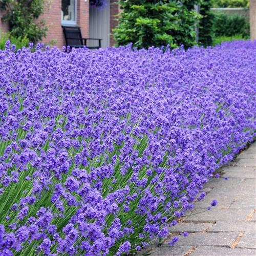 Can't forget the lavendar!  Probably less than this ;)  Lavendula angustifolia 'Hidcote'