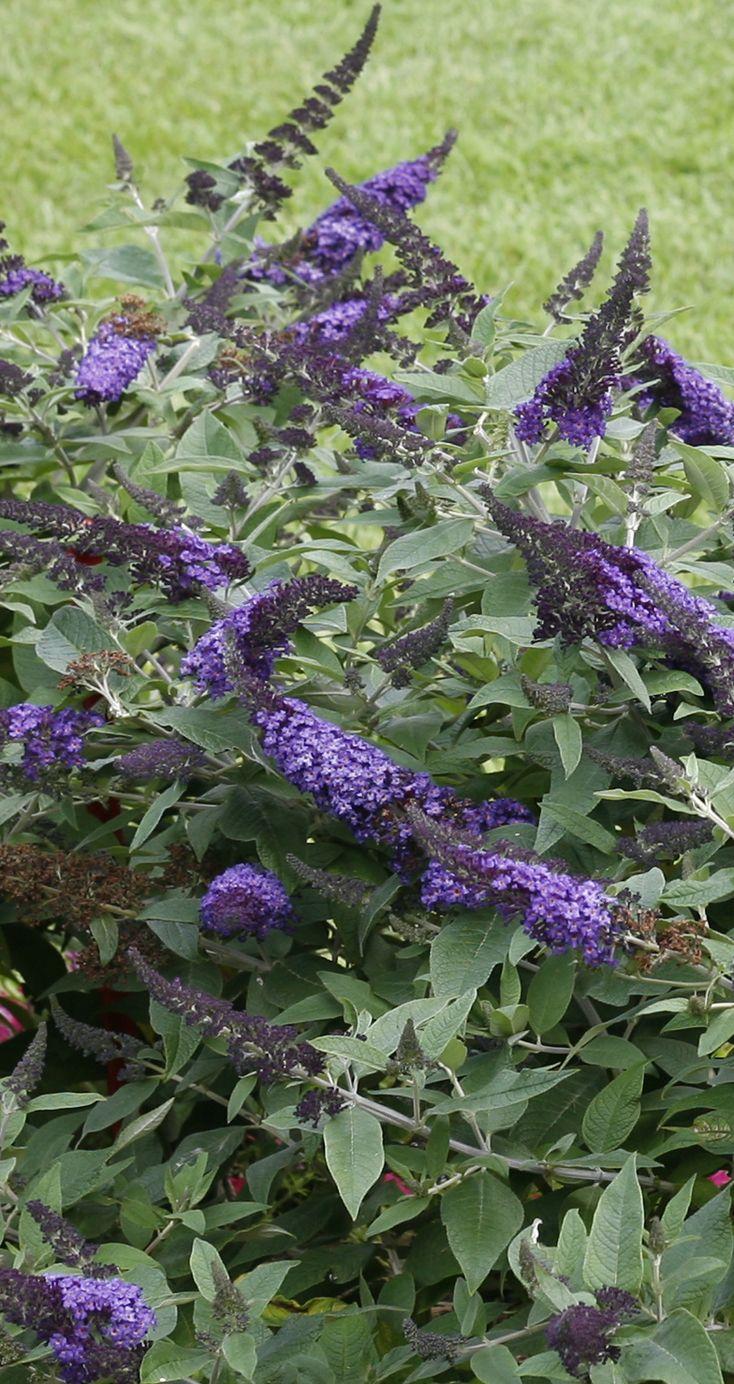 Pugster Blue Butterfly Bush Buddleia X Butterfly Bush