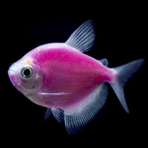 Looking to add a new bright pet to the family? GloFish Galactic Purple Tetras are beautiful freshwater Tetra fish that glow under black lights – PetSmart - $12.99
