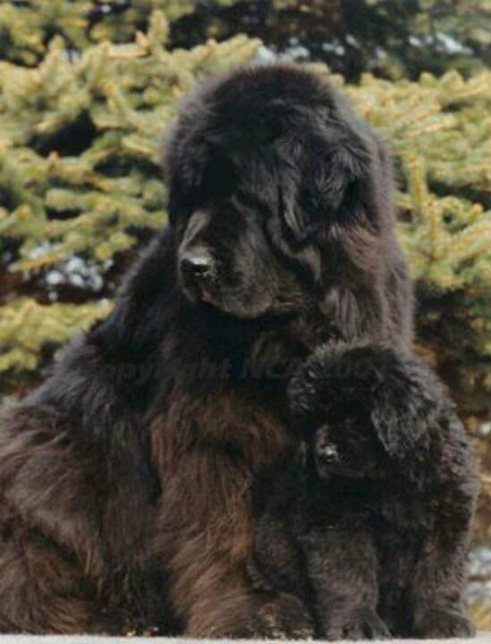 Newfoundland momma and baby