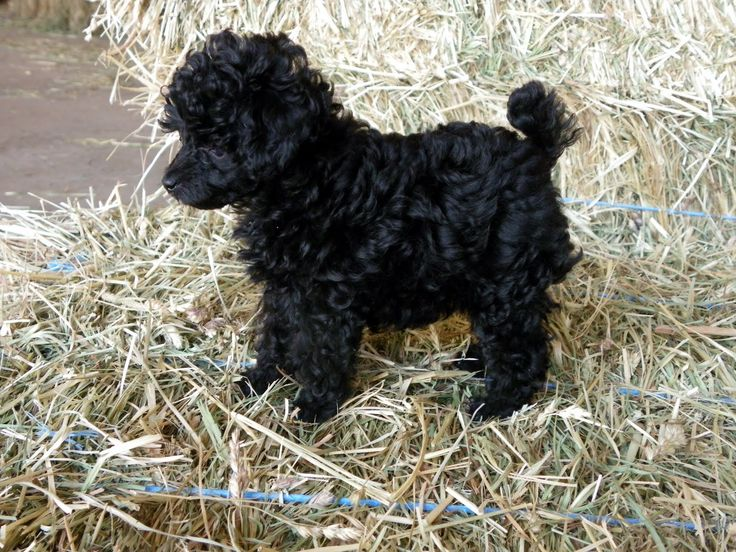 Black Miniature Toy Poodle | Dala Farm Toy Poodles