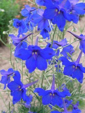 Delphinium grandiflorum Blue Butterfly Medium blue spikes for the hardy border