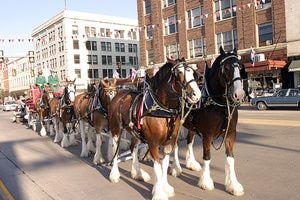 Photo of the Budweiser Clydesdale team at the Cheyenne Frontier Days Parade - (Matthew Idler)