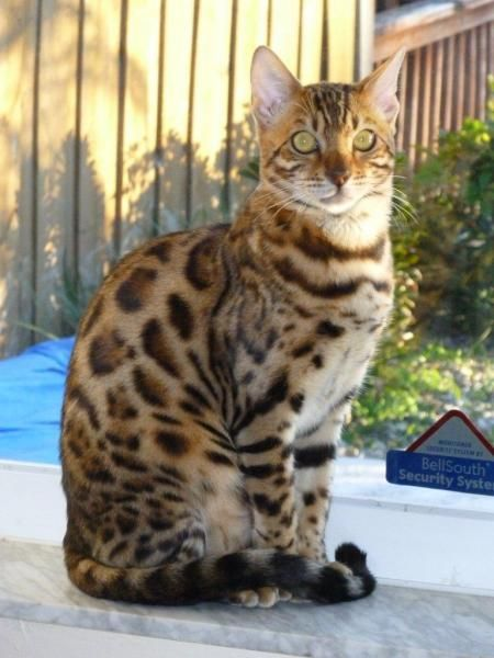 bengal cat. Carlos says he wants one of these down the road to hunt around the house? Uh.....
