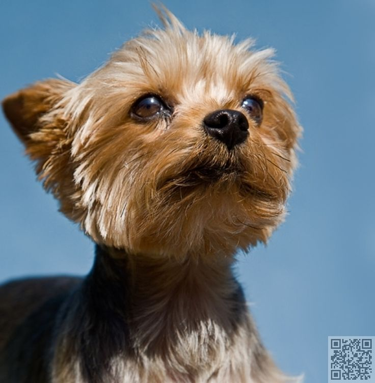 6. #Yorkshire Terrier - 15 Best #Small Dog Breeds for #Indoor Pets ... → #Lifestyle #Alert
