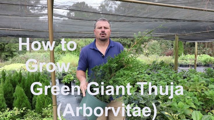 How to grow Green Giant Thuja (Arborvitae) with detailed description