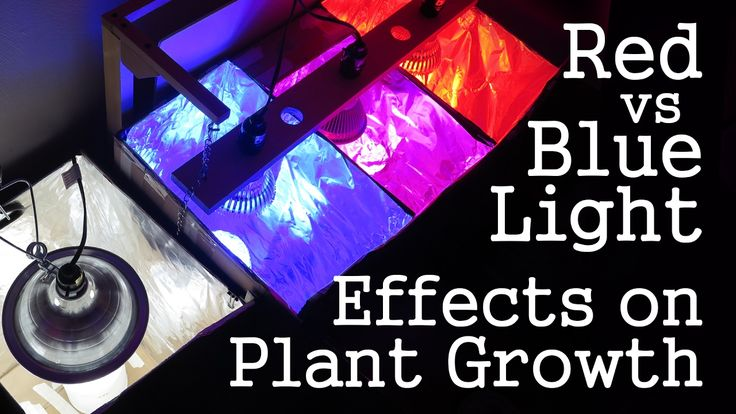 "Blue light vs Red light. Which is better for vegetative growth??? Instinctively, the answer might seem obvious: Blue light is for vege! That basic mantra has been plastered all over the internet. But if the issue was so simple, then why is it that so many LED grow lights are sold using such a large ratio of red to blue? Why don't we see many pure blue ""vege"" lights?"