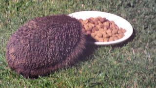 Hedgehog Watch Dublin: Hedgehog Watch 09 June 2015