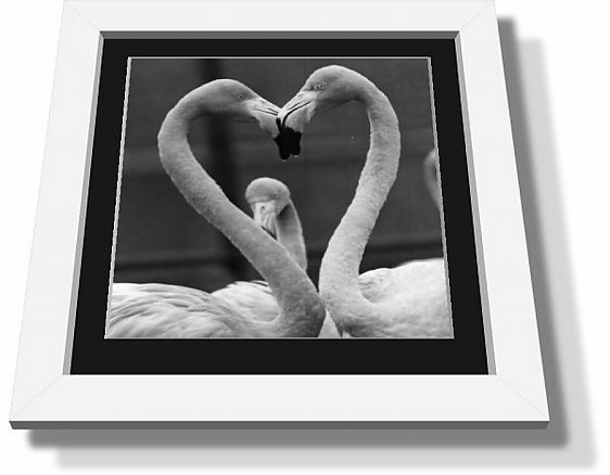 Framed print; A pair of Rosy flamingoes with their heads together in the shape of heart at Chessington zoo.