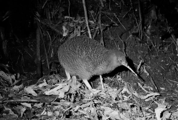 Zealandia is one of the best places to see kiwi in the wild in New Zealand. Over 100 of these nocturnal birds live freely in their natural environment inside the safety of our sanctuary valley – so your chances of finding one are good and your guide will help you. (Photo courtesy of Zealandia)