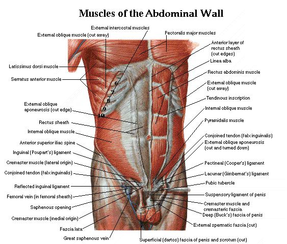 Anatomy of the abdominal muscles
