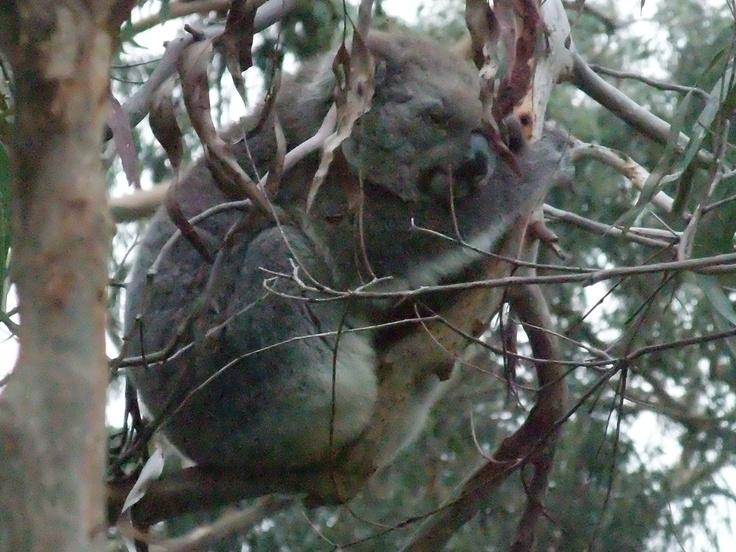 Philip Island Koala Conservation Center