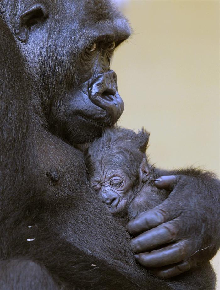 La gorila Moja sostiene a su bebé nacido en el Parque de la Naturaleza de Cabárceno, España. EFE