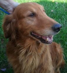 Adopt Brinkley Adopted On Petfinder Golden Retriever Dogs Golden Retriever Golden